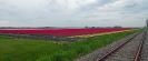 Tulpenvelden 2021_2