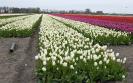 Tulpenvelden 2021_5